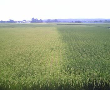 圃場整備後の田んぼ