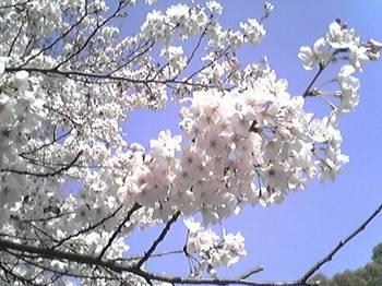 桜もこれから
