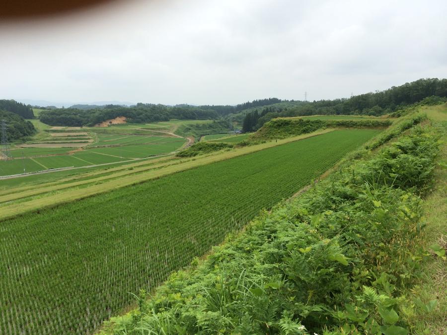 ササニシキの田んぼ