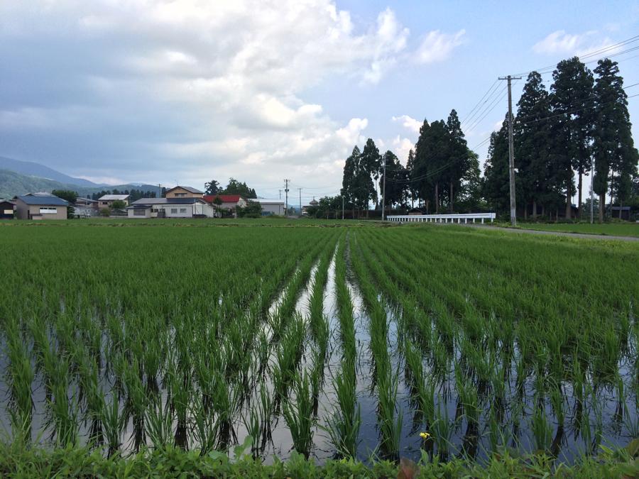 無農薬じゃんご米の田んぼ