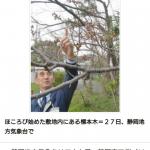 静岡市で2016桜開花