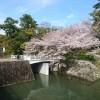 桜満開  🌸